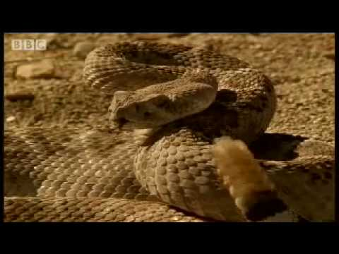 A snake's best friend - Deadly Vipers - BBC animals