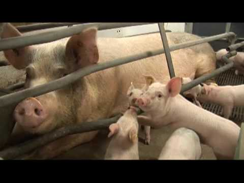 Sick as a pig: how factory farmed animals are brewing up MRSA