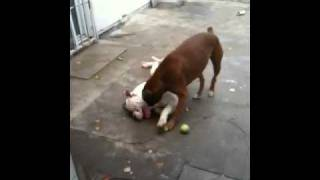 Johnson American Bulldog Vs Boxer