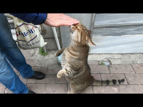 Tabby cat meowing so cute for food and love