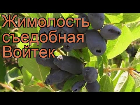 Жимолость съедобная Войтек (lonicera Edulis Voitek) 🌿 обзор: как сажать, саженцы жимолости Войтек
