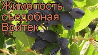Жимолость съедобная Войтек (lonicera edulis voitek) ???? обзор: как сажать, саженцы жимолости Войтек