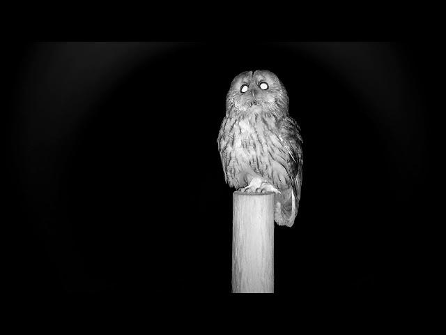 Tawny Owl - buzzed by second owl
