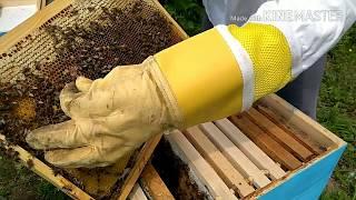 Pčelarstvo - Dodavanje matičnjaka u društvo bez matice