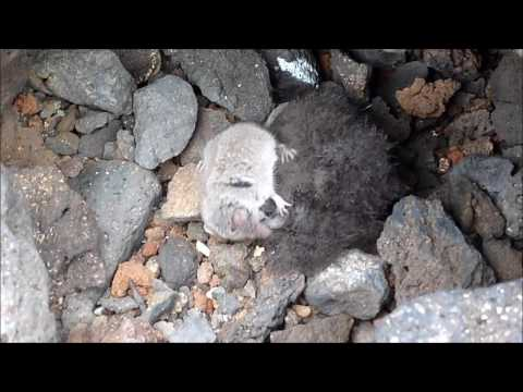 petrel de Bulwer devorado por musaraña canaria