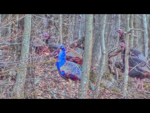 A Turkey Hunting Tale Of The WILD BLUE PEACOCK!