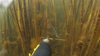 видео Подводная охота на карася