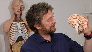 Brainstem anatomy - just the lumpy bits