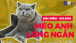 Mua bán mèo Anh lông ngắn - Aln xám xanh bicolor tabby golden silver giá bao nhiêu tại Tphcm Hà Nội