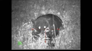 Медведь на овсах от 20 - до 7 метров от лабаза