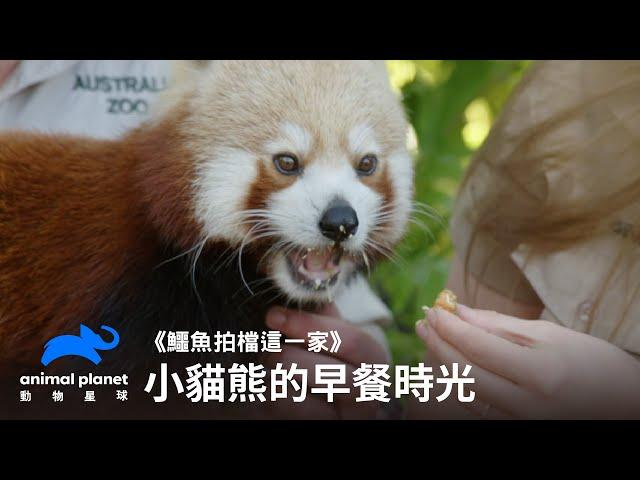 小貓熊的早餐時光 鱷魚拍檔這一家 澳洲動物園 動物星球頻道