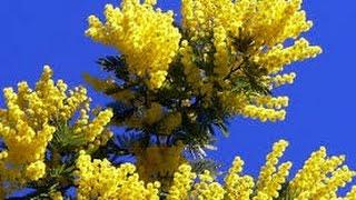США 3635: Некому желтую мимозу заломати на американском хайвее