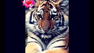 Tygrysy #1
