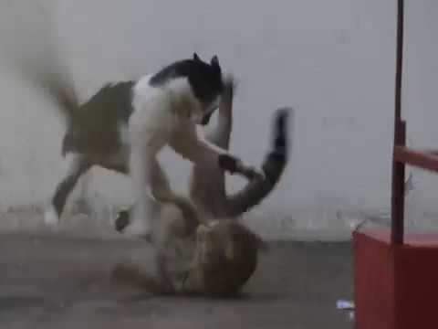Alley Cats Fighting - Part 1