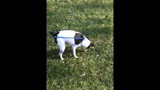 Jack Russell Terrier In Ottawa Park With Geese