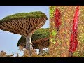 The World's Most Amazing Trees, Dragon's Blood Tree
