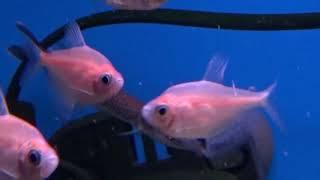Аквариумные рыбки Щучка Худжета  Мечерот