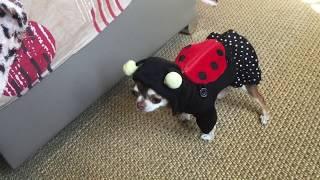 Чихуахуа Фондю идет в школу. 1 сентября у маленькой собаки. Что у нее в рюкзаке?