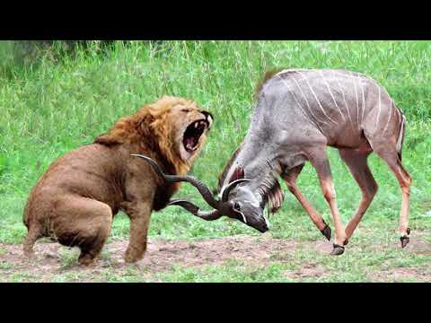 World's Strongest Animal Fail! Kudu Take Down Lion With Horns, Lion Catches Antelope In Mid-Air Hunt