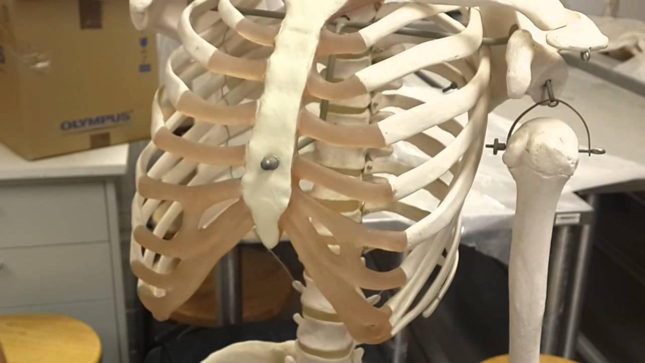 Anatomy Lab - 1 - Bone of Upper Limb - YouTube
