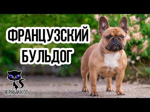 Французский бульдог / Интересные факты о собаках