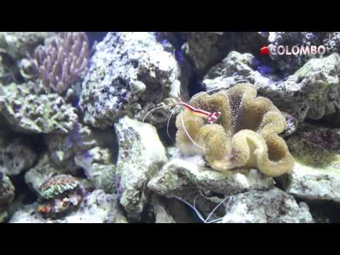 Colombo our Marine Tank Part 3