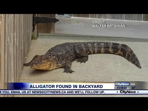 5-foot alligator removed from Hamilton man's backyard