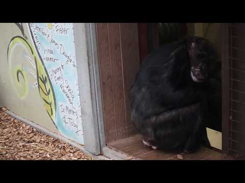 Rescued chimpanzees are asked to come inside for breakfast