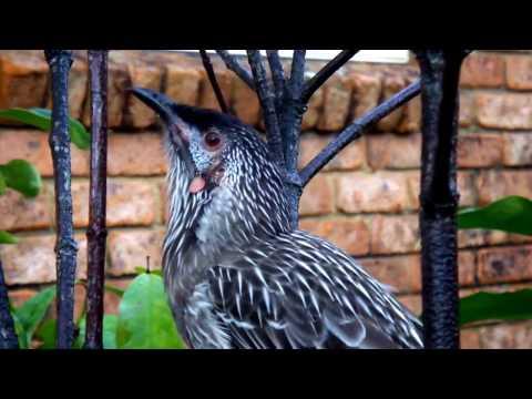 WATTLE BIRD 2.wmv
