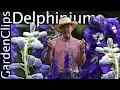 Delphinium - Larkspur - Growing Delphinium