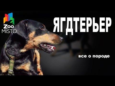 Ягдтерьер  - Все о породе собаки | Собака породы - Ягдтерьер