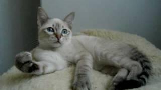 Тайская кошечка Орнелла