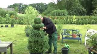 Buchsbaum Buxus Boxwood neu gestalten, re style