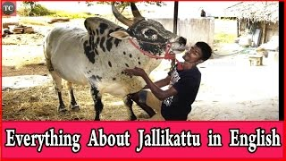 Everything About Jallikattu or Bull Taming Explained in English Spread it all Over the World