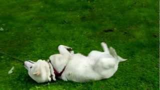 散歩の帰り、こんなふうに引きずられてきます。 疲れたのかな?