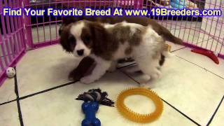Cavalier King Charles Spaniel, Puppies, For, Sale, In, Meridian, Idaho, County, Id, Ada, Canyon, Bon