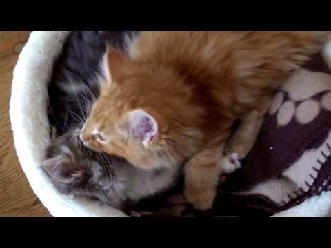 Norwegian Forest Kittens being cute.