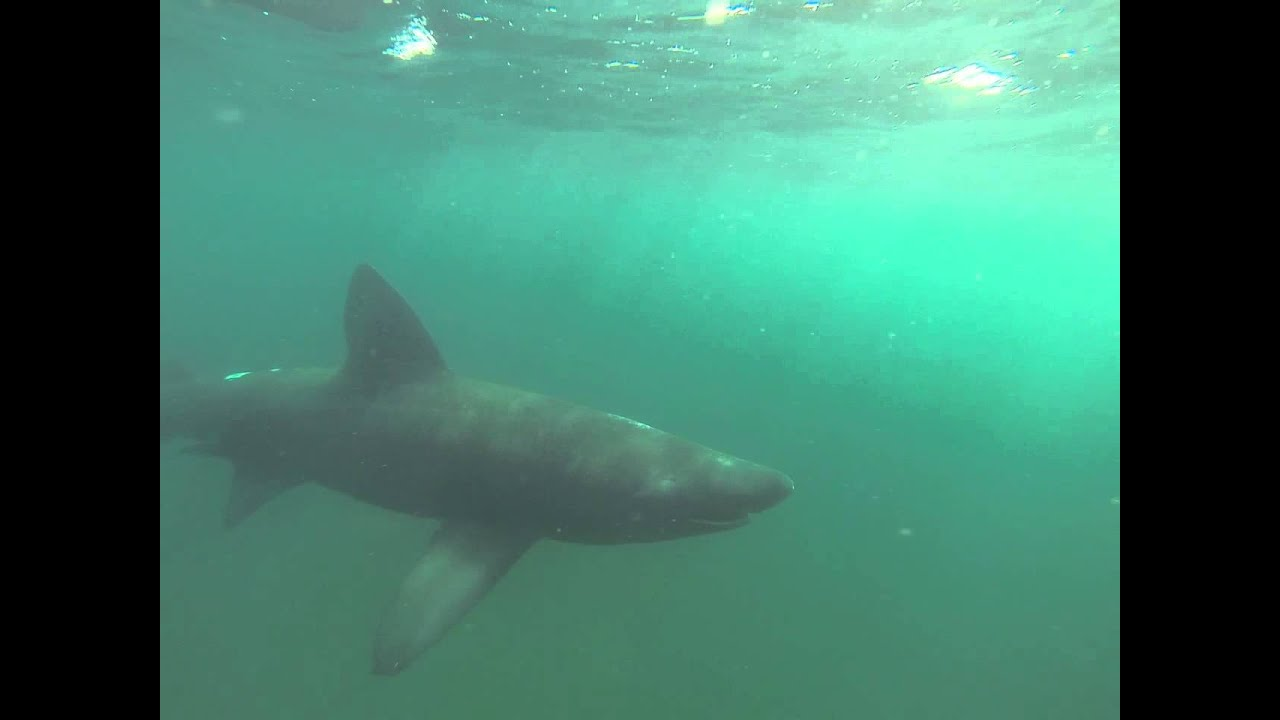 a study on the basking sharks the second largest living fish