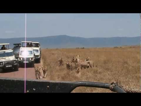 Lions attack car in Ngorongoro