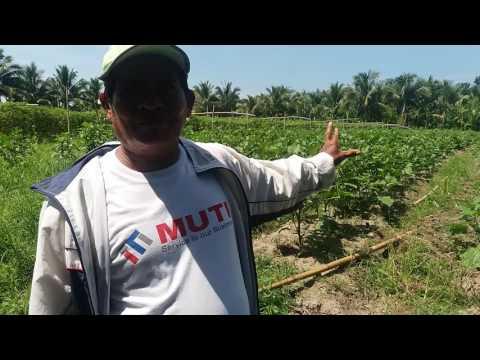 Farmer from Banga, Koronadal City, South Cotabato used Napaka Alkaline Organic Foliar Fertilizer.
