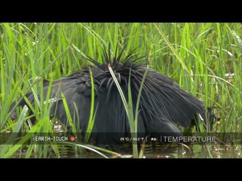 Nature's clever hunter: Egret uses 'umbrella' trick