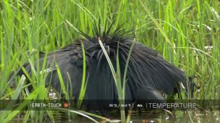 羽で傘を作って、獲物を捕らえるクロコサギ