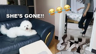 What the Fluff Challenge with my Bichon Frise