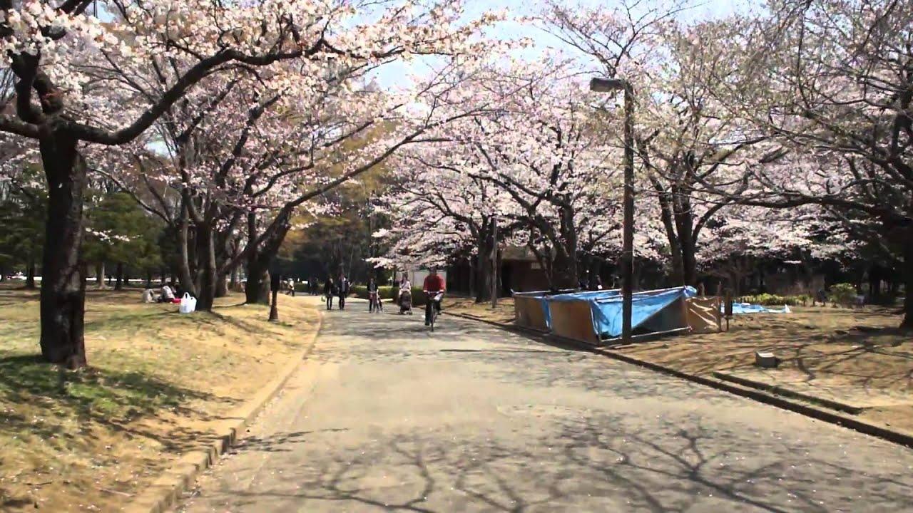 Ohanami (picnic Sous Les Cerisiers En Fleurs) à Yoyogi