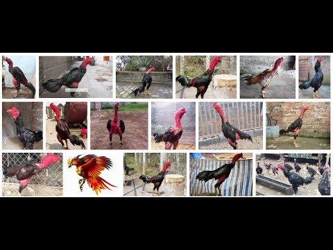 Video hướng dẫn ( Mổ Gà Nhanh Sạch nhất ) Full HD- ( Quick Clean Chicken Pecking least)