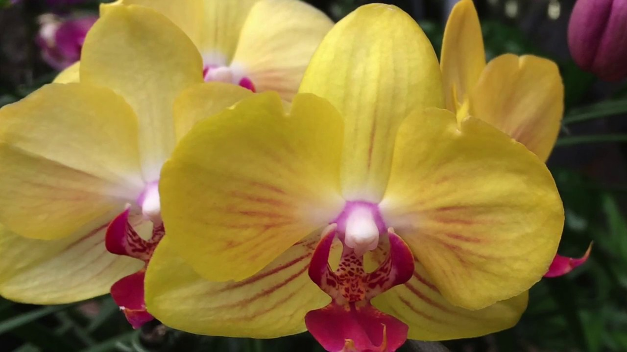 how to water phalaenopsis orchids prevent yellow leaves youtube