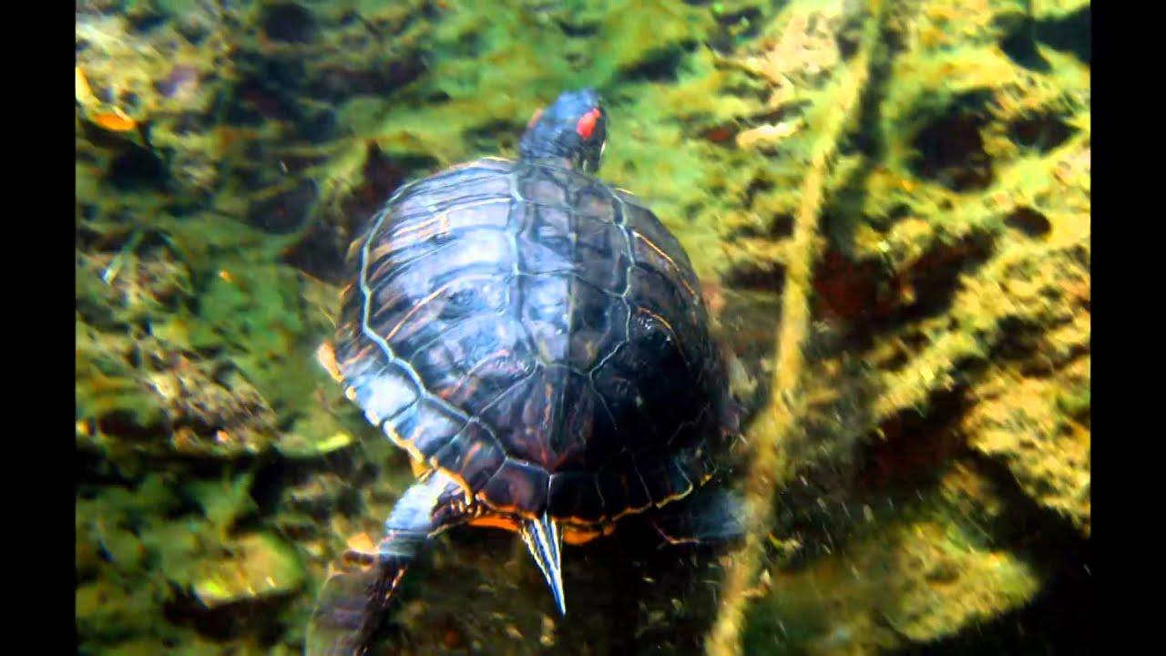 Lago d 39 orta gamberi tartarughe e cozze youtube for Lago tartarughe