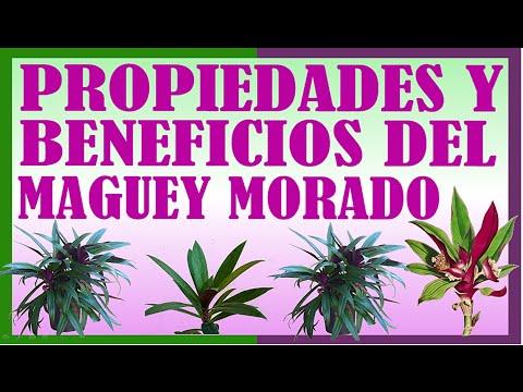 Propiedades Medicinales del Maguey Morado - YouTube
