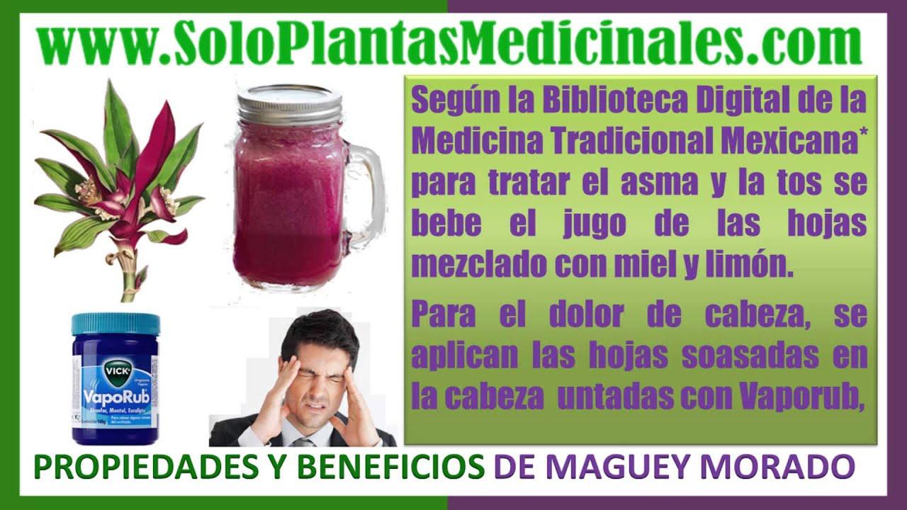 Propiedades Medicinales del Maguey Morado