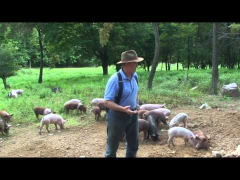 Polyface Intensive Discovery pigs